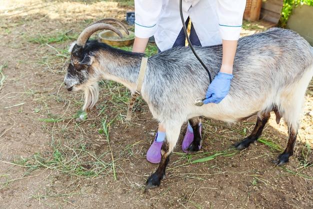 청진기를 들고 목장에서 염소를 검사하는 젊은 수의사 여자