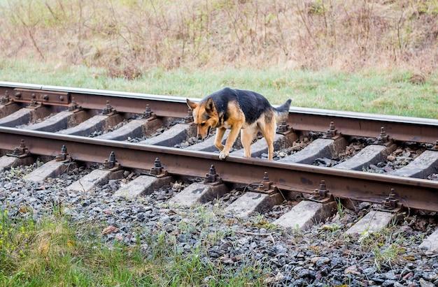 Young wandering dog go through railroad tracks