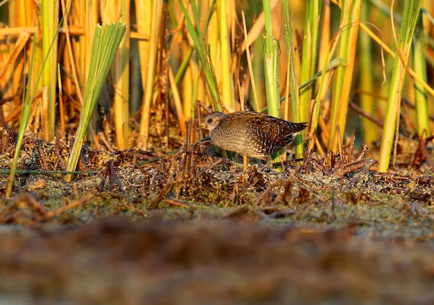 The young water rail (rallus aquaticus) in soft morning light.