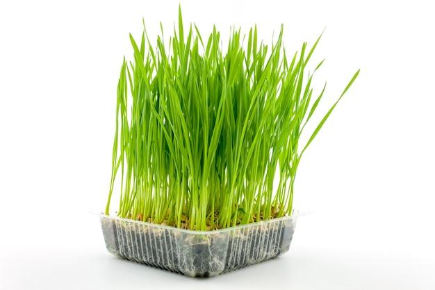 白い背景の上のプラスチックの箱の若い小麦植物。