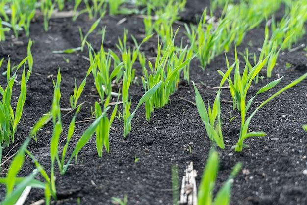 필드에서 성장하는 젊은 밀 모종. 토양에서 자라는 젊은 녹색 밀.