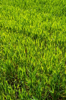 Young wheat shoots in spring, sprouts
