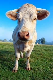 Молодая белая корова на зеленом лугу