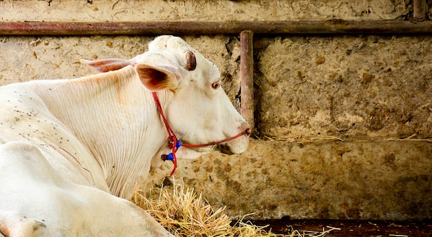 Young white cow in stall
