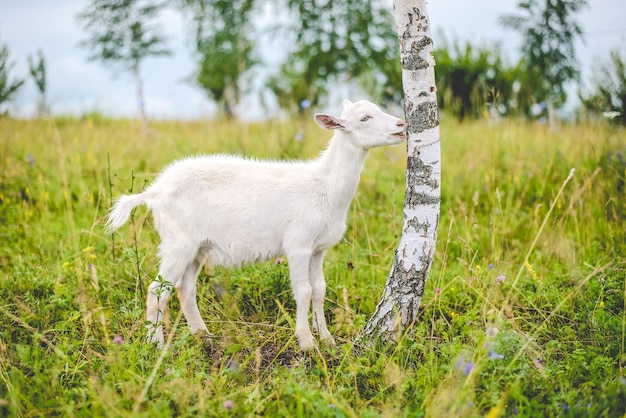 Young white goat eats tree bark