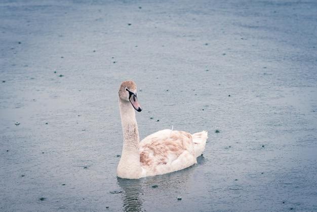 春先の雨の日に池にいる若い白灰色の白鳥。