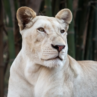 Молодая белая львица крупным планом портрет в зоопарке