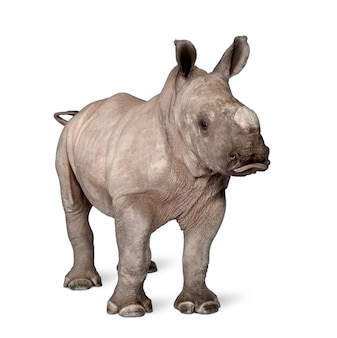 Young white rhinoceros or square-lipped rhinoceros - ceratotherium simum on a white isolated