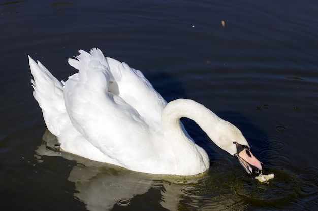 A young white swan floating on the lake for pieces of bread.