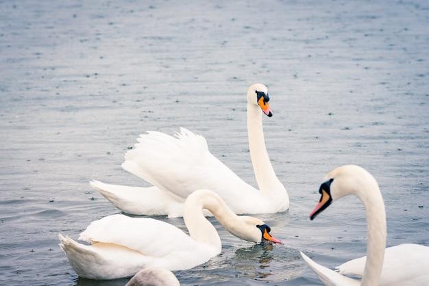 春先の雨の日に池にいる若い白い白鳥。