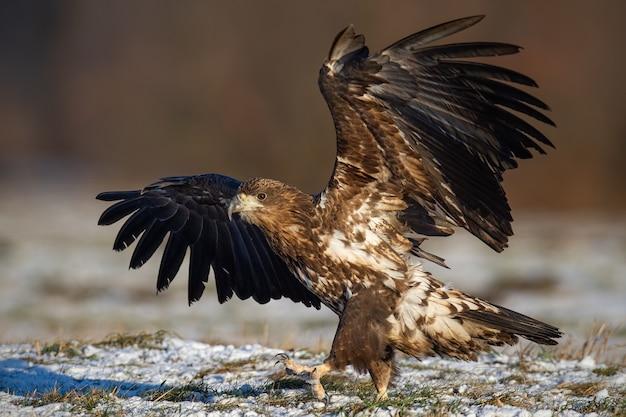 Молодой орлан-белохвост, приземляющийся на лугу зимой