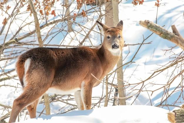 겨울 야생 풍경에 눈 숲의 가장자리에 서 있는 젊은 whitetail 사슴