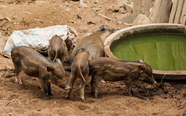 Young wild boar in farm in the morning.wildlife in natural habitat.
