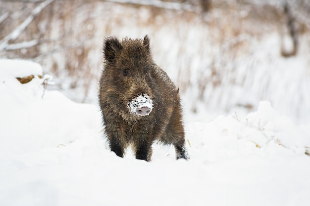 Young wild boar piglet with snow on snout looking curiously in wintertime.