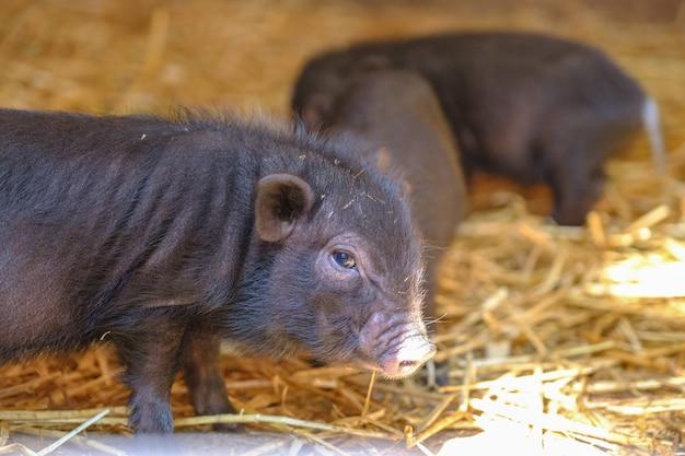 젊은 멧돼지 sus scrofa 짚에 작은 새끼 돼지 가까이 서 신생아 돼지 동물의 그룹