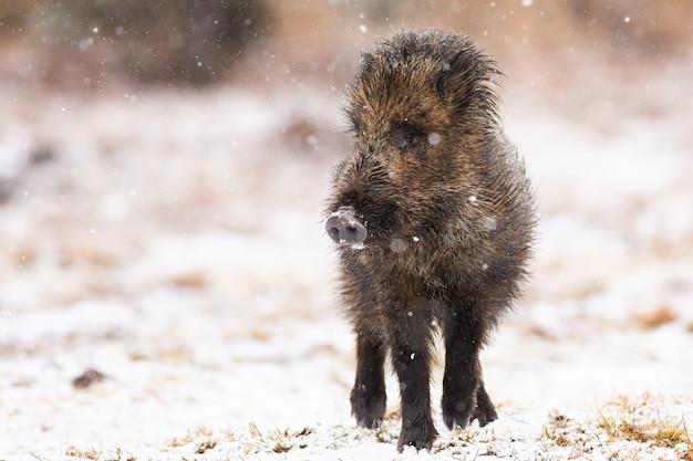 Молодой кабан гуляет по лугу во время снегопада зимой