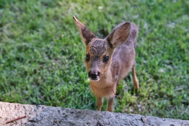 Young wild deer little morality deer cub deer resting