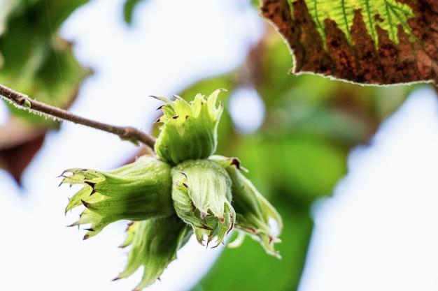 젊은 야생 헤이즐넛은 숲의 나무에서 익습니다. 천연 천연 비타민. 확대.