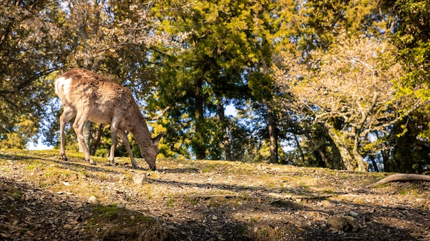 A young wild sika deer in nara park. cervus nippon during pink cherry blossom spring season, with sakura tree in bloom. tourist attraction of japan.