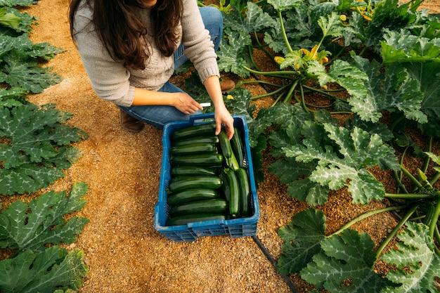 ズッキーニの温室で働く若い女性農業。最高の新鮮なズッキーニを収穫し、箱に入れて市場に出す女性。