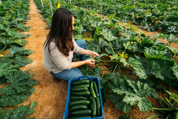 Young woman agriculture working in a zucchini greenhouse. woman harvesting the best fresh zucchini and placing them in the box to market.