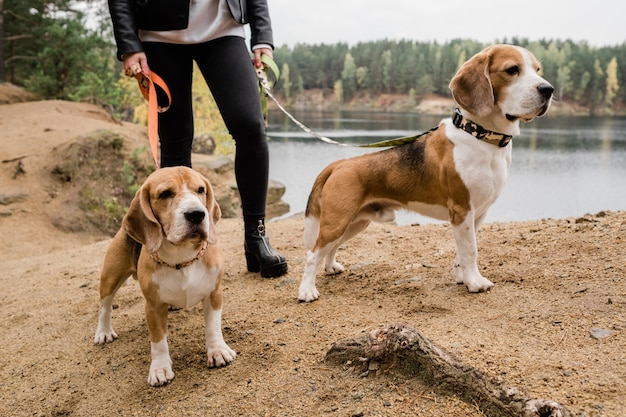 Young woman in black skinny jeans and leather jacket holding leashes of two cute beagle puppies during chill by lake