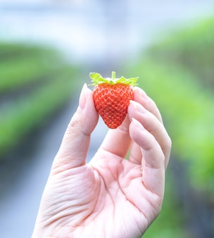 A young woman in blue sweater is collecting up and holding fresh seasonal strawberries in the hands isolated on the garden, close up