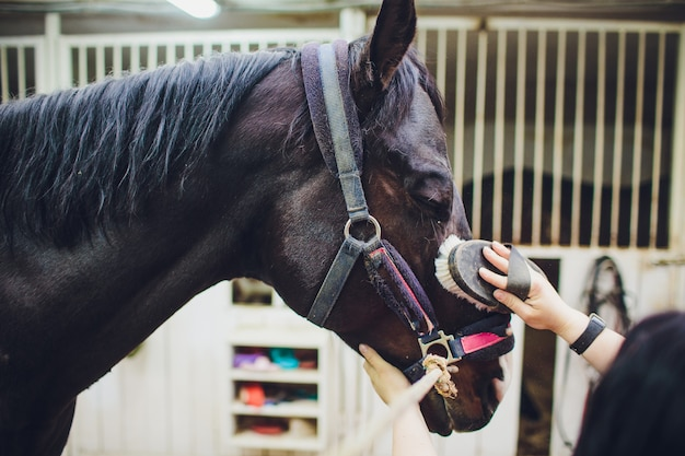 Young woman caressing and grooming black horse.