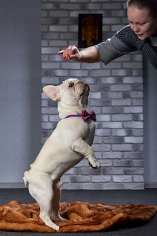 若い女性は小さなフレンチブルドッグ子犬を供給します。コマンドでドッグフードを食べるように小さな犬を訓練する犬の所有者の少女。ブルドッグと遊ぶ犬の所有者の女性