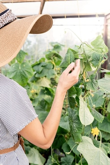 Young woman harvesting fresh cucumbers in the greenhouse