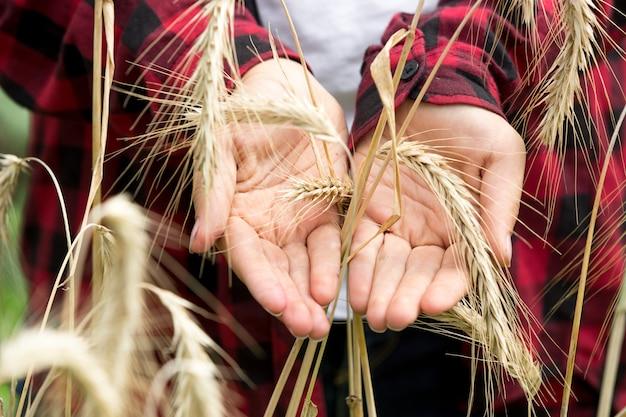 フィールドに金色の小麦の耳を保持している若い女性
