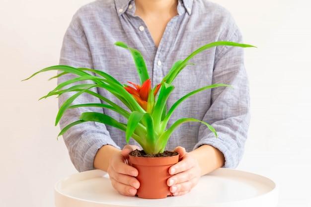 赤い花を持つグズマニア植物を保持している若い女性