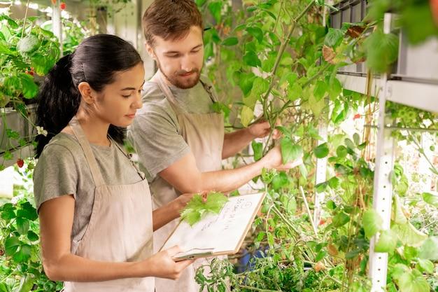 온실에서 동료와 함께 식물 선택을 위해 잎을 측정하는 앞치마에 젊은 여자