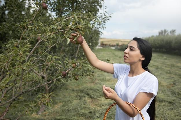 Молодая женщина собирает груши в саду