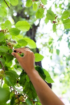 Молодая женщина срывает шелковицу с дерева.