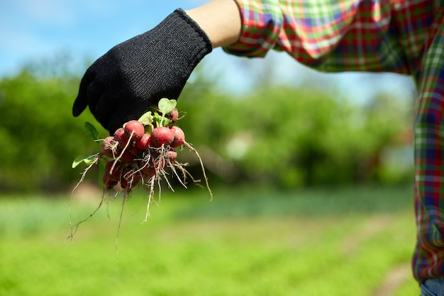 A young woman in a shirt holds a bunch of fresh red radishes in her hands, harvesting radishes from a veggie bed, working on farm.