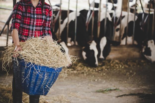 낙농 농장에서 소에 대 한 건초를 사용하는 젊은 여자