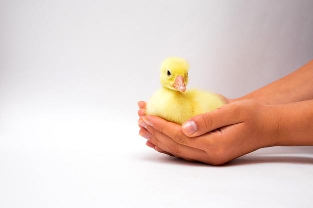 흰색에 검은 그을린 자식 손에 젊은 노란색 오리. 귀여운 오리와 여성 손