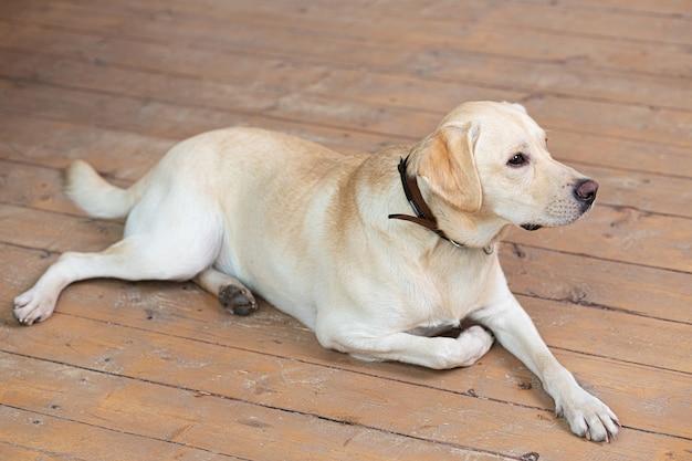 Молодой желтый лабрадор-ретривер лежит на деревянном полу и смотрит в сторону.