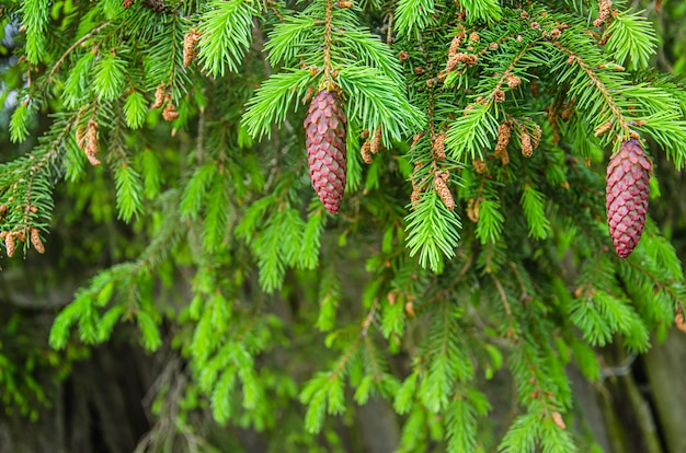 Young yellow pine cones on the branches