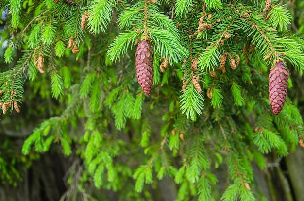 Молодые желтые сосновые шишки на ветвях