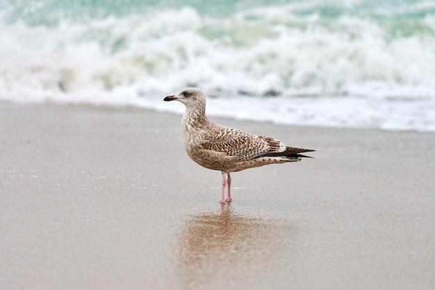 バルト海の近くの海岸を歩いている若いキアシセグロカモメ、larusmichahellis。
