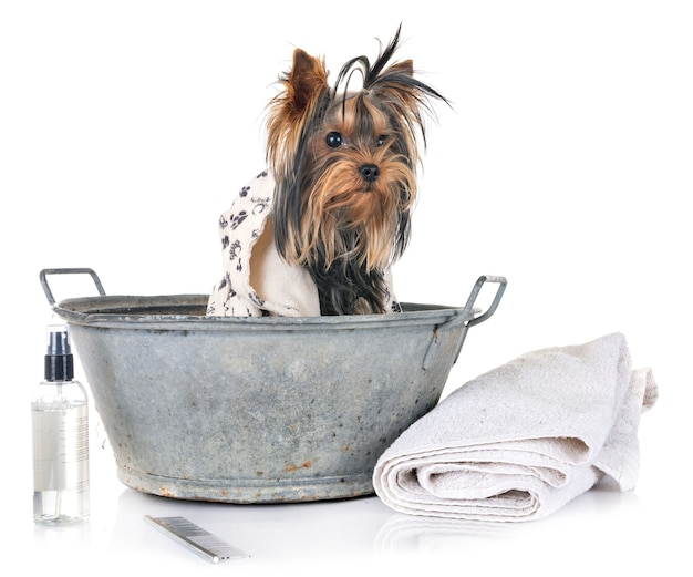 Young yorkshire terrier and bath
