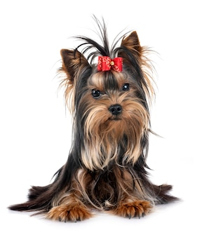 Young yorkshire terrier