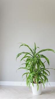 밝은 회색 배경에 흰색 냄비에 유카 식물. 객실 내부는 스칸디나비아 스타일입니다. 빈 벽과 복사 공간