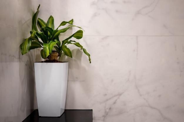 사람이 없는 내부의 흰 벽 배경에 있는 흰색 키 큰 냄비에 있는 유카 식물