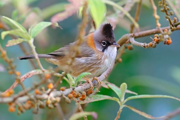 ひげを生やしたyuhina yuhina flavicollisタイの美しい鳥