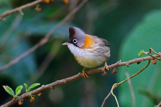 Yuhina yuhina flavicollisタイの美しい鳥