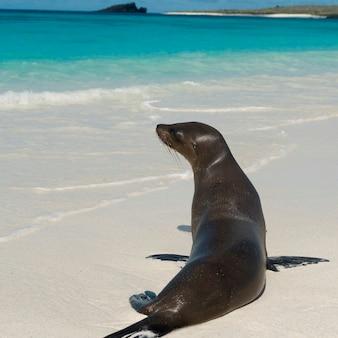 ビーチ、ガードナーベイ、エスパノラ島、ガラパゴス諸島、エクアドルのガラパゴスのライオン(zalophus californianus wollebacki)