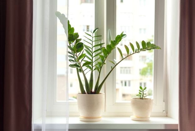 Zamioculcas home plant on the windowsill
